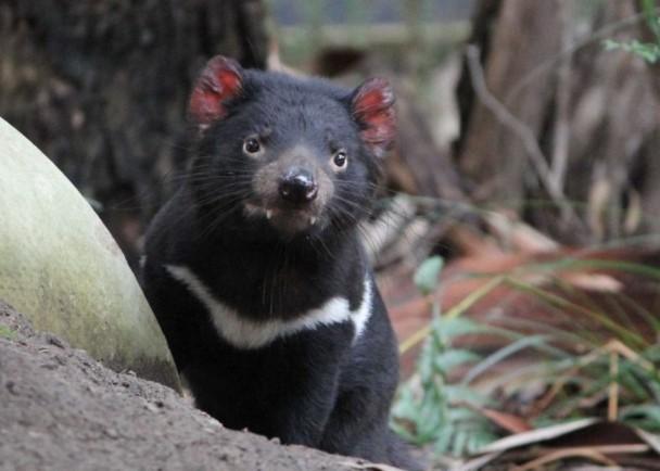 虽然袋獾是世界上现存最大的食肉性有袋动物